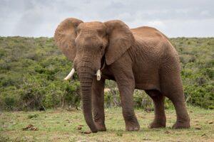 Krafttier Elefant